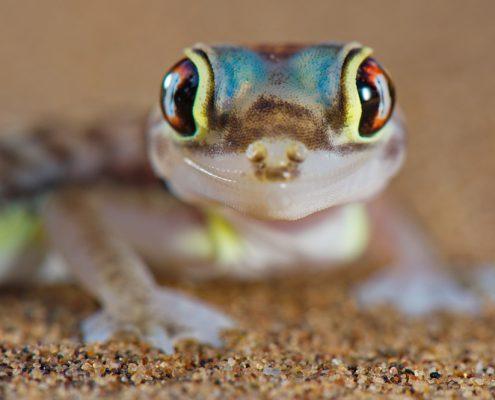 Desert gecko, Pachydactylus rangei, Namib Desert, Namibia