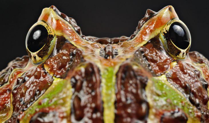 Pacman frog (Ceratophrys ornata), specimen in still life