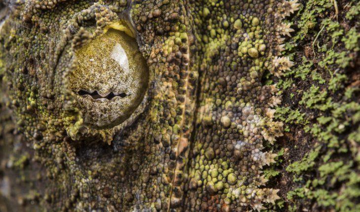 Uroplatus sikorae, Madagascar